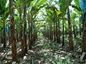 Как растет ананас фото