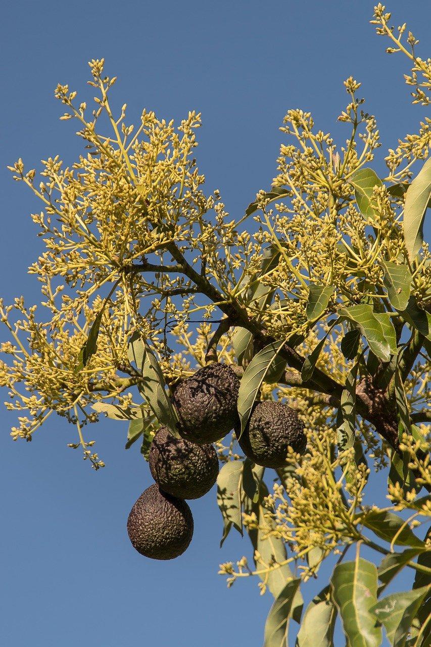 цветы авокадо